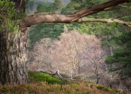 Scots Pine in Glenlyon - Perthshire